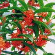 【モクセイ属)】赤花モクセイフレグランスレッド 3号ポット