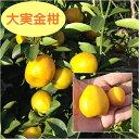 【ミカン属】大実金柑(二年生接木苗)4号LLポット