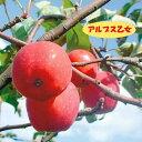 【リンゴ属】アルプス乙女(二年生接木苗)4号LLポット