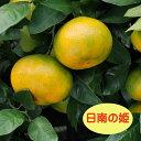 【温州系柑橘ミカン属】日南の姫(ひなのひめ)(接木苗)4号LLポット