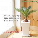 送料無料!観葉植物【ソテツ属】ソテツ角陶器6号鉢
