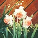 予約球根【水仙】ラッパ咲き ピンクパラソル(2球入)