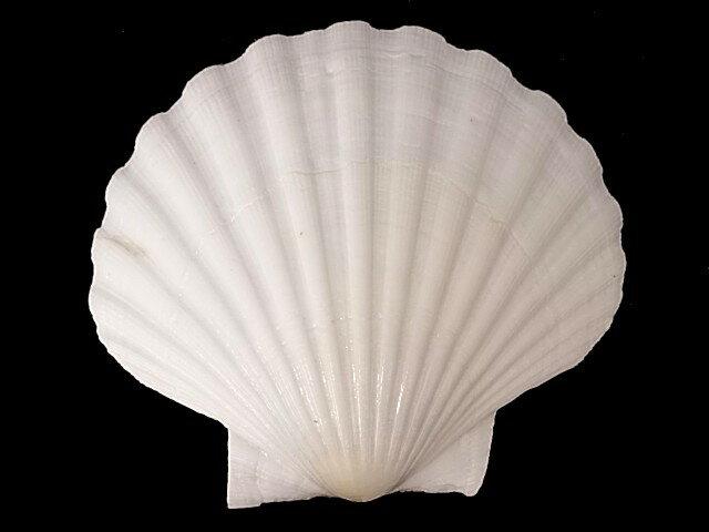 イタヤガイ【約9cm±0.5cm/5枚入】貝 貝殻 シェル 二枚貝 ブライダル ウェルカムボード アクセサリー ハンドメイドの写真