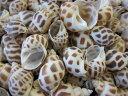 バイガイ-中-【約2.0〜4.5cm/500g】貝 貝殻 シェル 巻貝 フォト 絵画 ハンドメイド 海 ブライダル ウェルカムボード