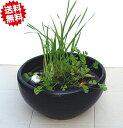 小型睡蓮鉢 MKS−S 黒 11号 メダカ鉢 陶器製 スイレン鉢 北海道・沖縄・離島出荷不可