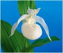 中国白花アツモリソウ 1芽(入荷予定:2016年12月頃)