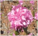 八重咲きエゾムラサキツツジ 地掘株 高さ50cm内外 1本(入荷予定:2017年5月下旬頃)