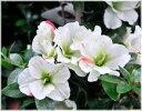 サツキ 緑花の泉 4号ポット植え支柱仕立て 1本