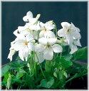 白花タチツボスミレ ポット苗 1株(入荷予定:2016年10月頃)