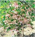 枝垂れエゴの木 桃花種 接ぎ木ポット苗 1本