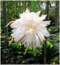 孔雀サボテン 白狐の精 5号鉢植え 1株