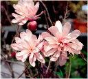 八重咲きシデコブシ 接木苗 1本
