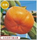 柿(カキ) 太天(PVP) 接木苗 1本(通常販売価格2500円のところ、1750円にて。)