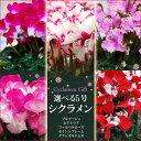 白花に赤の縁取りが美しい、フリンジ咲きの当店人気No.1シクラメン【送料無料】xmas2009xmas  【flower】【12月上旬よりお届け】特上株シクラメン鉢植えギフト【ビクトリア】 【年末FG1211】