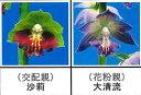 エビネ蘭12本入り 瓶苗  交配親 沙莉× 花粉親 大清流