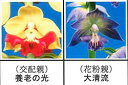 エビネ蘭12本入り 瓶苗  交配親 養老の光× 花粉親 大清流