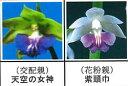 エビネ蘭12本入り 瓶苗  交配親 天空の女神× 花粉親 紫頭巾