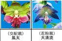 エビネ蘭 馴化苗 4本入り 交配親 風太× 花粉親 大清流