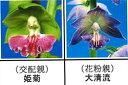 エビネ蘭 馴化苗 4本入り 交配親 姫菊× 花粉親 大清流