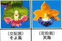エビネ蘭 馴化苗 4本入り 交配親 そよ風× 花粉親 天海