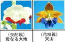 エビネ蘭 馴化苗 4本入り 交配親 母なる大地× 花粉親 天山