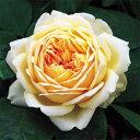 カップ咲きの大輪の素晴らしい品種。繰り返し咲きます。温かい地域では特につるばらとして使用できる。フルーティーな香りは、甘口の白ワインを思わせます。【ポイント1120】【12月中旬からお届け】イングリッシュローズ大苗【ジュードジオブスキュア】【アプリコットイエロー黄色】●7号角鉢植え