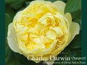 バラ苗 イングリッシュローズ大苗 チャールズ・ダーウィン 黄土色 バラ7号角鉢植え