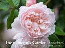 イングリッシュローズ大苗ザ・ジェネラス・ガーデナー ペールピンク バラ7号角鉢植え