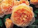 バラ苗 イングリッシュローズ大苗 クラウン・プリンセス・マルガリータ アプリコットオレンジ バラ7号角鉢植え