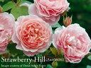 ★ご予約品 11月末から出荷★ イングリッシュローズ大苗 ストロベリーヒル ピンク ●バラ7号角鉢植え
