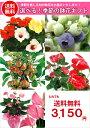 【花】季節の鉢花のギフト 【楽ギフ_包装】