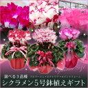 選べる5号特上株シクラメン鉢植えギフト(ビクトリア、プルマージュ、セイントフレーム)