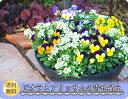 11月中旬よりお届け 寄せ植え ひみつのビオラとアリッサム寄せ植え
