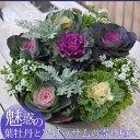 12月中旬よりお届け 寄せ植え 葉ボタン(葉牡丹)とアリッサムの寄せ植え