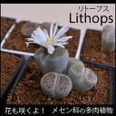 花咲く多肉植物!メセン科リトープス【3ポットセット】