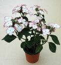 【花終わり品】季節の鉢花アジサイ!ピコティー5号鉢植え
