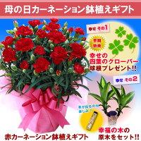 【母の日ギフト】赤カーネーション鉢植えギフト,プレゼント,moter`s day