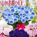 母の日 プレゼント アジサイ ギフト 花 鉢植え 紫陽花 コンペイトウブルー ノブレス ディープパープル コットンキャ…