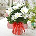 母の日 プレゼント 花 ギフト 鉢植え クレマチス 北浜 白 特典付き