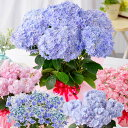 母の日 プレゼント アジサイ 花 ギフト 鉢植え あじさい 紫陽花 万華鏡 ケイコピンク ケイコブルー ピンキーリング …