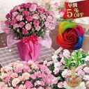 母の日 カーネーション鉢植えギフト 2色咲きコンビネーション大きい6号鉢に選べる特典「幸福の木」またはレインボーローズ