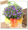 早得ポイント10倍八重咲きエキザカム ブルーロココ鉢植え05P05Apr14M母の日 お花のギフト 送料無料 フラワーギフト2014
