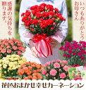 【母の日ギフト】花色おまかせカーネーション鉢植えギフト!【楽ギフ_包装】【楽ギフ_メッセ】カーネーションのみのギフト