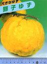ご予約品★11月中旬よりお届け 果樹苗 柑橘類苗木 A20獅子ユズ(ししゆず)