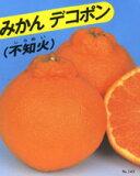 含糖量高,肉质甜美。柑橘类水果植物幼苗●不知火(Dekopon)[果樹苗【柑橘類苗木】A10不知火(デコポン)]