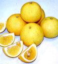 ●果樹苗【柑橘類苗木】黄金柑(ゴールデンオレンジ・おうごんかん)