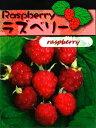果樹苗 ラズベリー 苗木 5号 ポット苗 (トゲあり) フランボワーズ