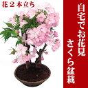 八重の桜【さくら盆栽】5号プラ鉢●自宅でお花見楽しめる桜盆栽♪