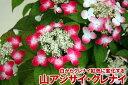 山アジサイ白から赤(クレナイ)色に変化する【ヤマアジサイ】クレナイ5号鉢