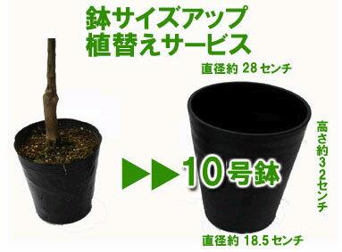 ブルーベリー専用10号鉢に植えてお届け鉢色おまかせ黒または白またはダークブラウンプラ製、容量約10リ